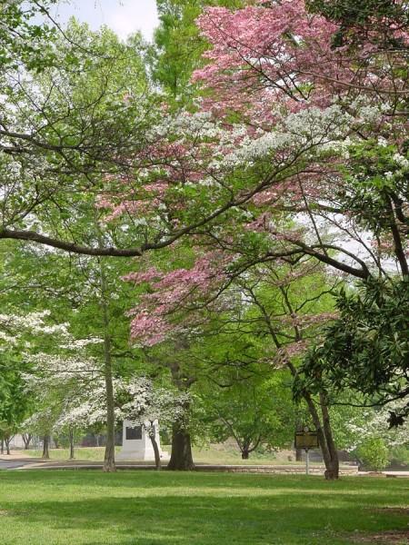 piedmont park atlanta dogwood blooms
